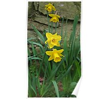 Garden Daffodils Poster
