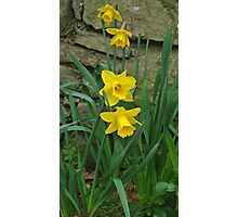 Garden Daffodils Photographic Print