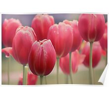 Tulips Entwined Poster