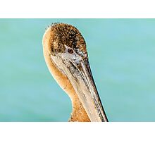 Brown Pelican Profile Photographic Print
