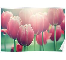 Tulips in The Sun  Poster