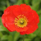 Red Poppy by Anthony Thomas