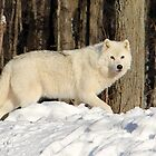 Beautiful Arctic Wolf. by vette