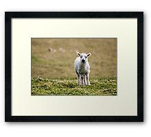 Donegal Lamb Framed Print