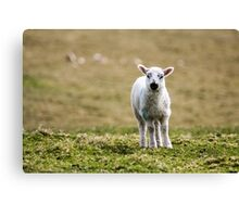 Donegal Lamb Canvas Print