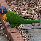 Quizzical parrot Leith Park Victoria 20160101 6539   by Fred Mitchell