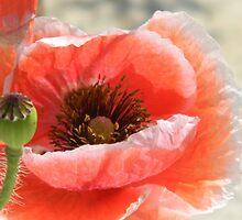 Poppy Expressions by Navigator