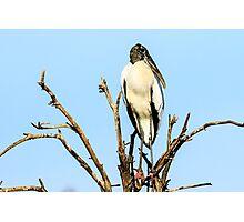 Wood Stork Photographic Print