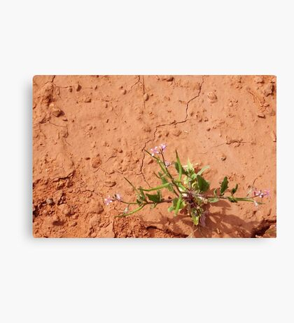 Desert Wildflower in Red Clay Canvas Print