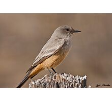 Say's Phoebe on a Fence Post Photographic Print