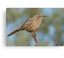 Curve-Billed Thrasher Canvas Print