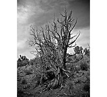 Juniper and Sky Black and White Photographic Print