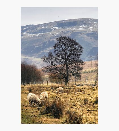 Grazing Peacefully Photographic Print