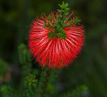 Beaufortia Sparsa (Gravel Bottlebrush) by Elaine Teague