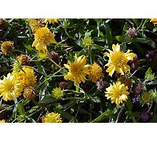 Many joyful yellow flowers in the garden. Photographic Print