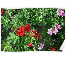 Colorful flowers in the garden. Poster