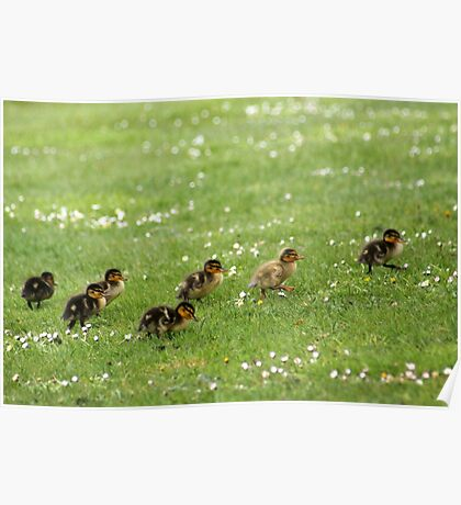 Ducklings and Daisies Poster