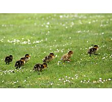 Ducklings and Daisies Photographic Print