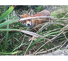 Fox at Royal National Park Sydney Photographic Print