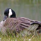 coy goose by dedmanshootn