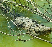Alligator  by Rob Hawkins