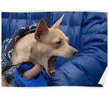 Screaming Chihuahua Poster