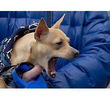 Screaming Chihuahua Photographic Print