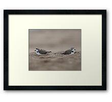 snowy plover Framed Print