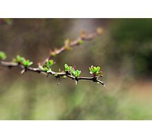 Buds Photographic Print
