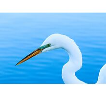 Great Egret Profile Photographic Print