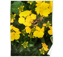 Bumble Bee In Yellow Flowers Poster