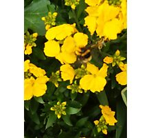 Bumble Bee In Yellow Flowers Photographic Print