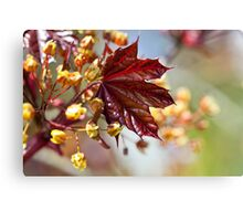 Young maple leaf Canvas Print