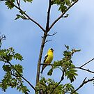American Goldfinch by Don Siebel