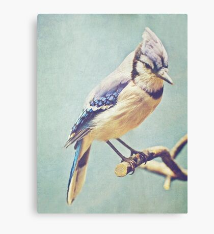 Virginia Blue Jay Canvas Print