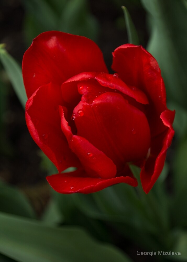 One Very Red Tulip in the Rain by Georgia Mizuleva