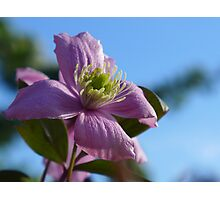 Spring clematis against the evening blue Photographic Print