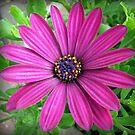 Celebrating the Sunshine - Vibrant Pink Cape Daisy by MidnightMelody