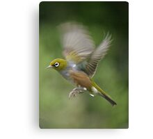 Silver Eye........on the wing.......! Canvas Print
