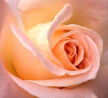 Pretty Rose by Cindy Hitch