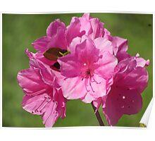 Beautiful Pinkish Flowers  Poster