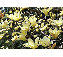 Yellow Magnolia Tree - Taken in Norfolk, VA Photographic Print