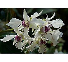 Dendrobium Orchids - Taken in Norfolk, VA Photographic Print