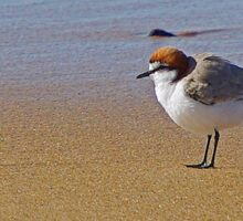 Red Capped Plover Sticker