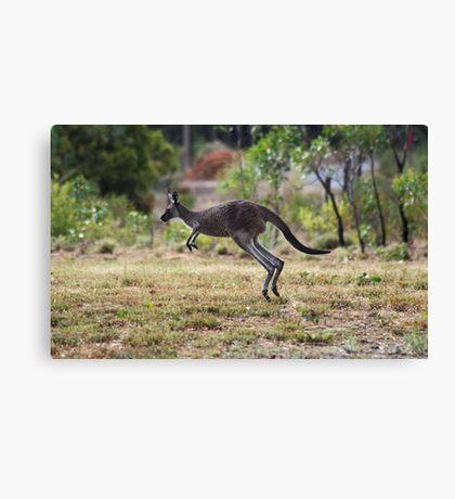 Kangaroo on Mt. Lofty, Adelaide  Canvas Print