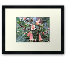 Correa garden plant for small birds Framed Print