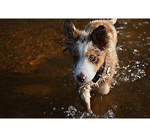 Australian shepherd puppy in the water Photographic Print