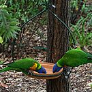 Parrots on feeder Leith Park Victoria 20160101 6542   by Fred Mitchell