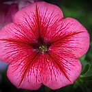 Pink and red Petunia flower Leith Park Victoria 20160101 6548   by Fred Mitchell
