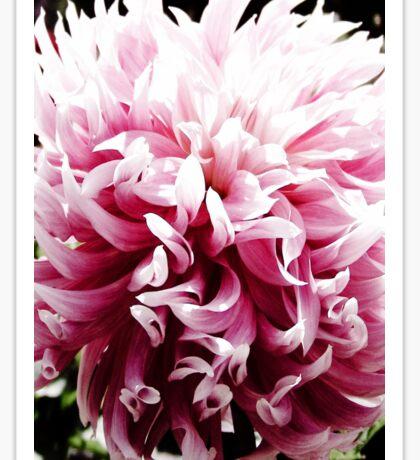 Pink Dancing Dahlia Sticker